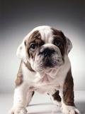 English Bulldog Puppy Fotografisk tryk af Larry Williams