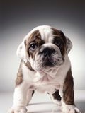 English Bulldog Puppy Photographic Print by Larry Williams