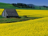 Barn in Rape Seed Field Photographic Print by Darrell Gulin
