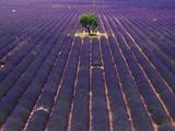 Árbol en un campo de lavandas Lámina fotográfica por Bryan F. Peterson