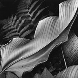 Leaf, 1979 Photographic Print by Brett Weston