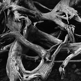 Dead Tree Roots Photographic Print by Brett Weston