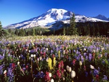 Wildflower Meadow and Mount Rainier Photographie par Craig Tuttle