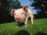 Piglet in Grass Photographic Print