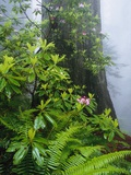 Rhododendrons and Ferns at Base of Redwood Photographic Print by Darrell Gulin
