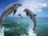 Dolphins Jumping in Ocean Photographic Print by Craig Tuttle