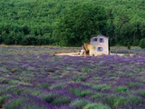 Cottage in Field of Lavender Photographic Print by Owen Franken