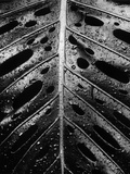 Wet Leaf by Brett Weston Photographic Print by Brett Weston