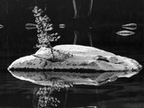 Rock and Sapling in Sierra Lake Photographic Print by Brett Weston