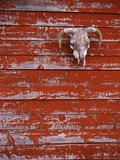 Steer Skull Hanging on a Barn Wall Photographic Print by Stuart Westmorland