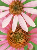 Pink Cone Flowers Close-Up Photographic Print by Richard Hamilton Smith