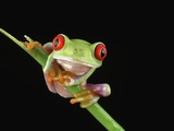 Red Eyed Tree Frog Photographic Print by Darren Maybury