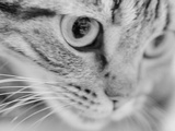 Close Up of Cat's Face Photographic Print by Henry Horenstein