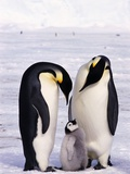 Emperor Penguins with Chick Photographic Print