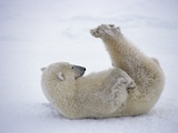 Polar Bear Rolling in Snow and Playing With Feet Photographic Print by Daniel Cox