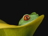 Red-Eyed Tree Frog Photographic Print by David Northcott