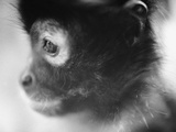 Face of a Monkey in Profile Photographic Print by Henry Horenstein