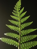 Fern Leaves Photographic Print by Bob Krist