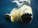 Paws of a Floating Polar Bear Photographic Print by Stuart Westmorland