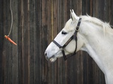 Carrot Dangling in Front of Horse Photographic Print by Shawn Frederick