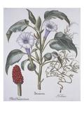 Stamonia Premium Giclee Print by Basilius Besler