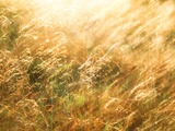 Golden Grass Photographic Print