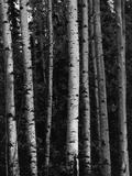 Birken Fotodruck von Brett Weston