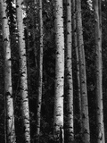 Birch Trees Photographic Print by Brett Weston