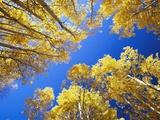 Aspen Trees Against Blue Sky Photographie par William Manning