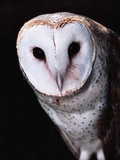 Barn Owl Photographic Print by Steve Bowman