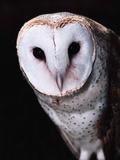 Barn Owl Photographic Print by Steve Bowman