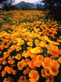 Meadow Carpeted with California Poppies Photographic Print by David Muench