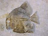 Macromesodon Macropterus Fish Fossil Photographic Print by Naturfoto Honal
