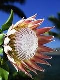 King Protea on Maui Photographic Print by Darrell Gulin