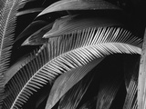 Palms, Bronx Botanical Gardens, 1945 Photographic Print by Brett Weston