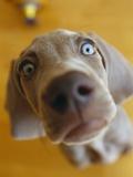 Weimaraner Puppy Staring Photographic Print