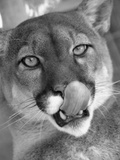Mountain Lion Licking Nose Photographic Print by Henry Horenstein