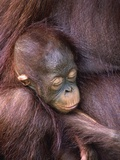 Orangutan Baby Sleeping Photographic Print by Theo Allofs