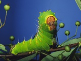 Polyphemus Moth Caterpillar Perching on Twig Photographic Print by David Northcott