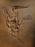 Pterodactylus Kochi Fossil Photographic Print by Jonathan Blair