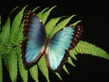 Blue Common Morpho Butterfly on Fern Frond Fotografie-Druck von Kevin Schafer