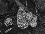 Succulents, 1943 Photographic Print by Brett Weston