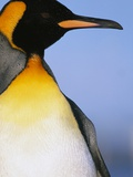 King Penguin Photographic Print by Paul Souders