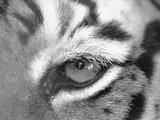 Tiger's Eye Photographic Print by Henry Horenstein