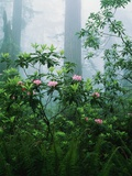 Rhododendrons in the Forest Photographic Print by Charles Mauzy