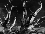 Dead Tree in the Desert Photographic Print by Brett Weston