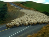Flock of Sheep in Roadway Fotoprint van John Carnemolla