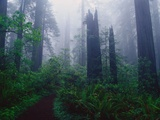 Trail Through Foggy Redwood Forest Photographic Print by Darrell Gulin