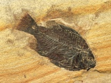 Fish Fossil Photographic Print by Tom Bean