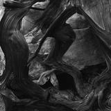 Tree and Rock Photographic Print by Brett Weston